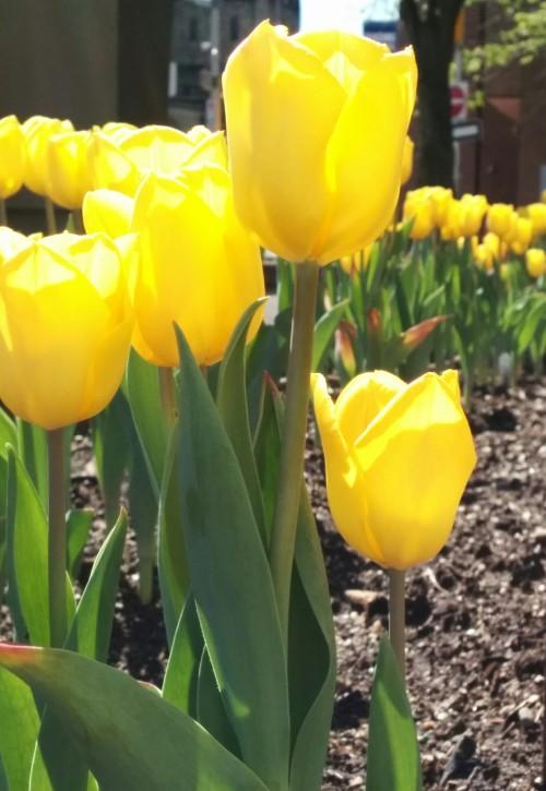 Ottawa tulips.jpeg